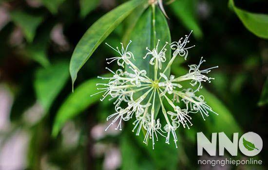 Hoa cây trúc nhật