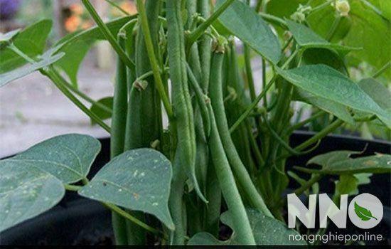 Đậu cove trồng vào tháng mấy thì đúng mùa đúng vụ