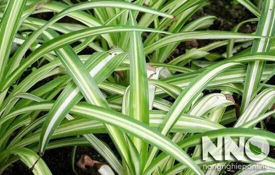 Cây dây nhện (cỏ lan chi, cây mẫu tử)