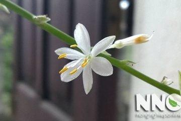 Cây dây nhện có hoa không? Cỏ lan chi ra hoa khi nào