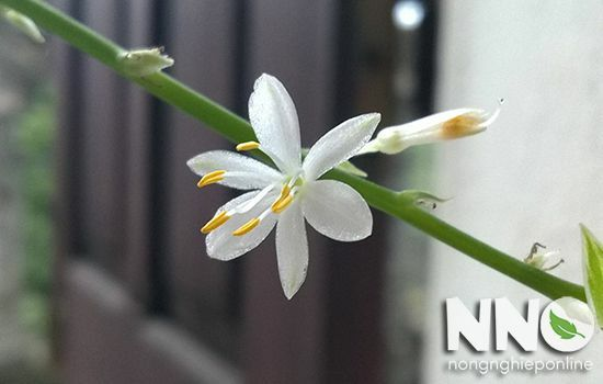 Cỏ lan chi ra hoa