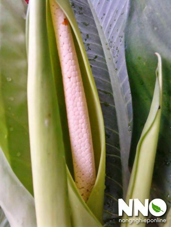 Hoa cây đại phú gia
