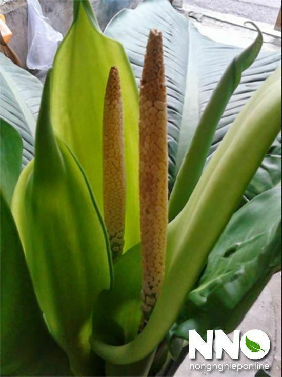 Hoa cây đại phú