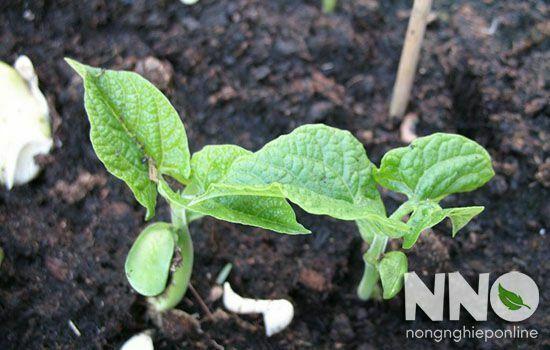 Hướng dẫn cách trồng đậu cove lùn trong thùng xốp