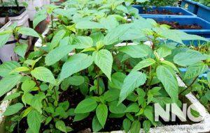 Rau đay xanh trồng trong thùng xốp
