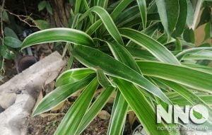 Cách chăm sóc cây cỏ lan chi