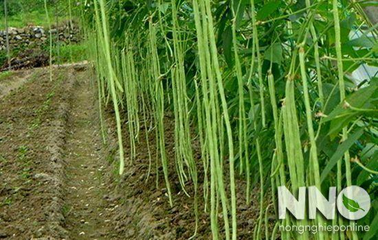 Đậu đũa là đậu gì? Đặc điểm và thời vụ trồng đậu đũa
