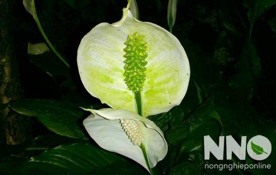Hoa lan ý chuyển màu xanh