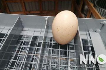 Máy ấp trứng đảo tay là gì và cách đảo trứng bằng tay đúng cách