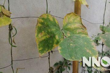 Đậu cove bị vàng lá, xoăn lá, rụng lá, nguyên nhân và cách khắc phục