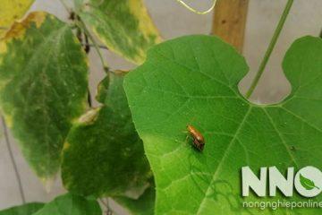 Đậu đũa bị xoăn lá, rụng lá, vàng lá, nguyên nhân & hướng xử lý