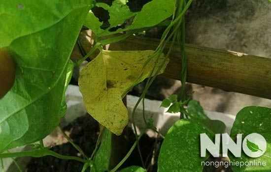 Đậu cove bị vàng lá