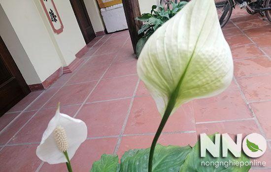 Hoa bạch môn chuyển màu xanh