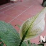 Hoa buồm trắng chuyển màu xanh