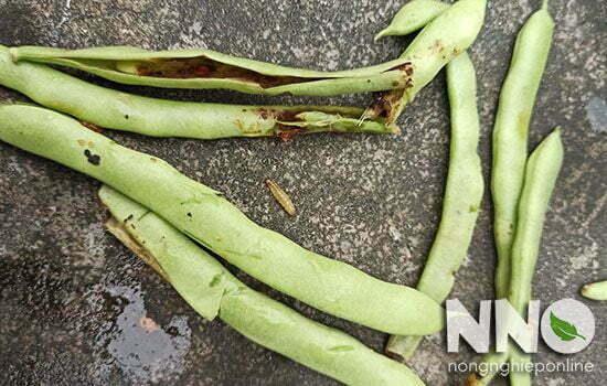 Sâu bệnh gây hại ở đậu cove - Sâu đục quả