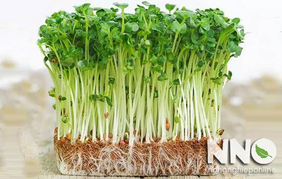 Cách trồng rau cải mầm