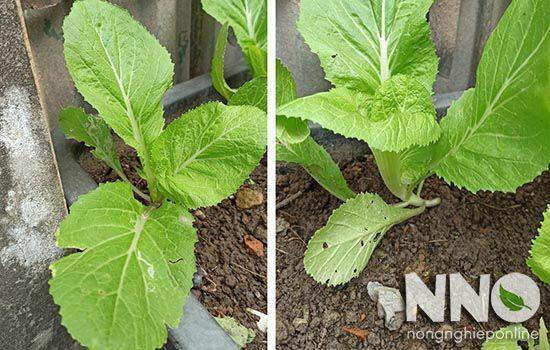 Thành phần dinh dưỡng của rau cải bẹ - Brassica Nutrition