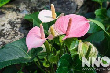 Hình ảnh cây hồng môn, hoa hồng môn và chậu hồng môn đẹp