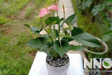 Cây hồng môn có độc không? Hoa hồng môn có độc không