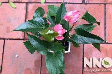 Giá cây hồng môn, giá hoa hồng môn bao nhiêu?