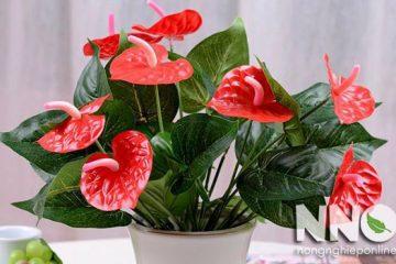 Vị trí đặt cây hồng môn giúp cây phát triển tốt, hợp phong thủy