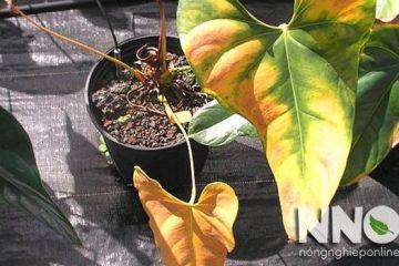 Cây hồng môn bị vàng lá, héo lá, cháy lá, nguyên nhân & cách khắc phục