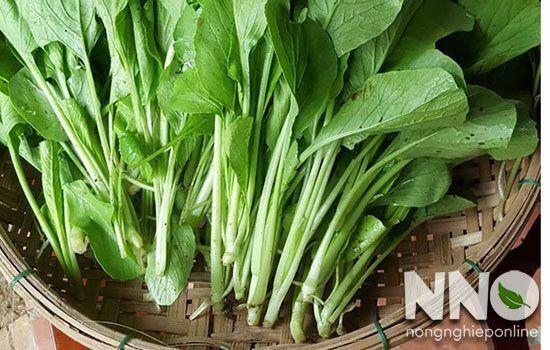 Thu hoạch rau cải ngọt
