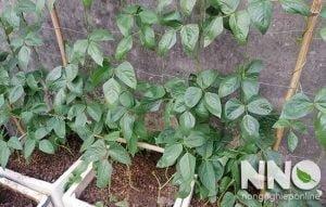 Cách trồng đậu đũa trong thùng xốp