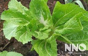 Cây cải bẹ xanh