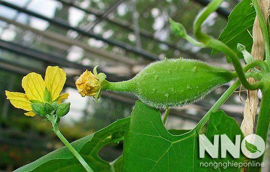 Các loại mướp phổ biến hiện nay ở Việt Nam bạn nên biết