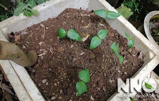 Gieo hạt đậu đũa