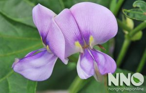 Hoa đậu đũa