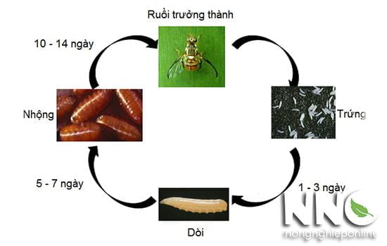Vòng đời của ruồi vàng
