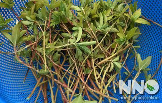 Cắt cành cây dừa cạn để nhân giống