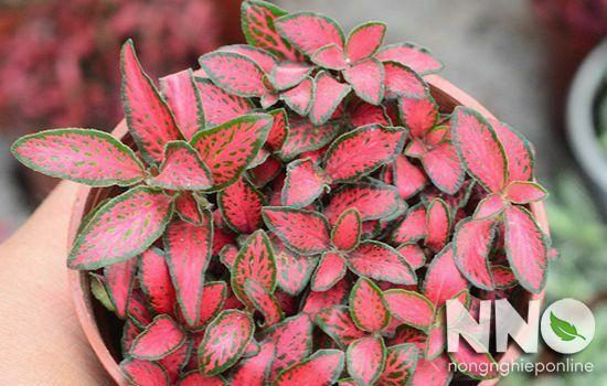 Cây cẩm nhung đỏ