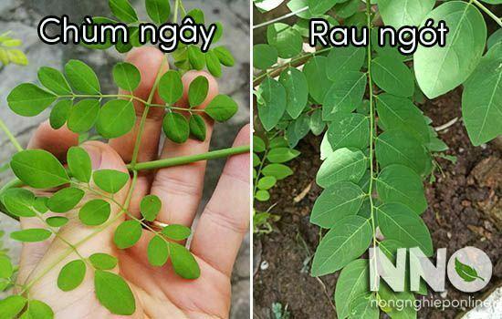 Cây chùm ngây có phải là cây rau ngót không