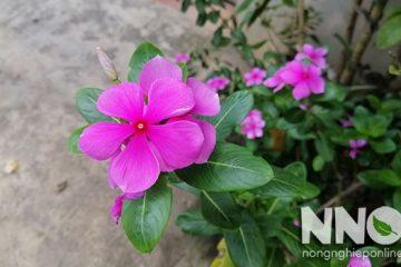 Các loại hoa dừa cạn, các giống hoa dừa cạn bạn nên biết
