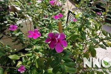 Hình ảnh cây dừa cạn và hình ảnh hoa dừa cạn