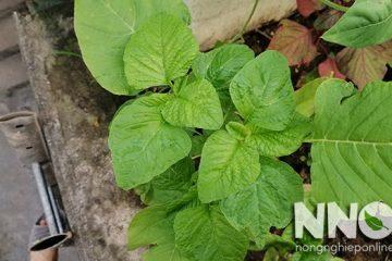 Cách trồng rau dền bằng hạt trong thùng xốp tại nhà