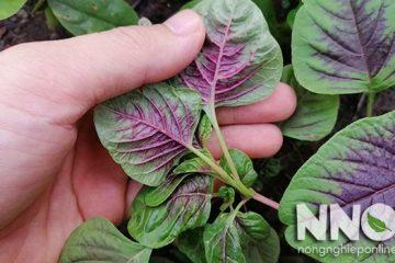Rau dền là rau gì? Thời vụ trồng và đặc điểm cây rau dền