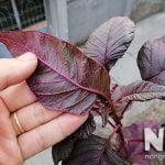 Cây rau dền đỏ