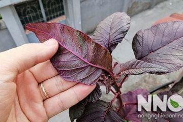 Tác dụng của rau dền đỏ, có thể dùng làm cả thuốc nhuộm