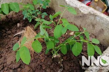 Cách trồng rau ngót bằng cành trong thùng xốp tại nhà