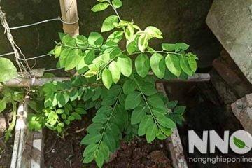 Hình ảnh cây rau ngót nhà và rau ngót rừng