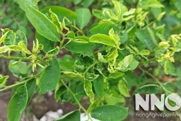 Rau ngót bị xoăn lá, nguyên nhân và cách chữa cụ thể