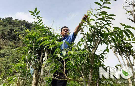 Cây rau ngót rừng