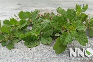Cây rau dền cơm, đặc điểm và tác dụng của rau dền cơm