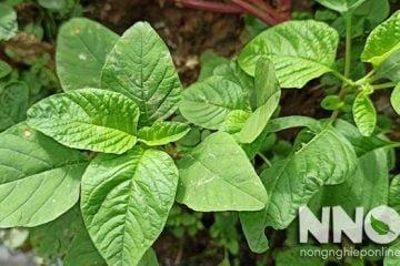 Thành phần dinh dưỡng của rau dền – Amaranth greens nutrition