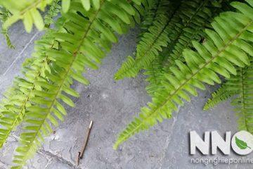 Cách trồng cây dương xỉ, đặc biệt lưu ý về vị trí trồng cây