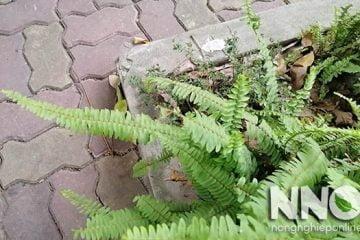 Cây dương xỉ hợp mệnh gì? Có nên trồng cây dương xỉ trong nhà